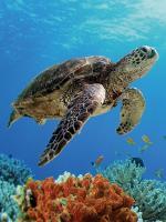 Certina и Sea Turtle Conservancy: Вместе под знаком черепахи